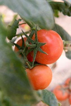 Tomatoes are just one of the many crops being grown in schools thanks to Khayr Qatarna.